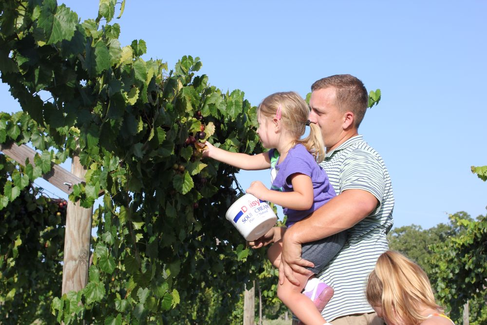 Kasbergs-Picking-Grapes
